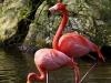 Cubaanse Flamingo