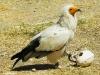 Egyptische-gier
